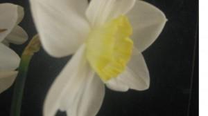 DaffodilTwo